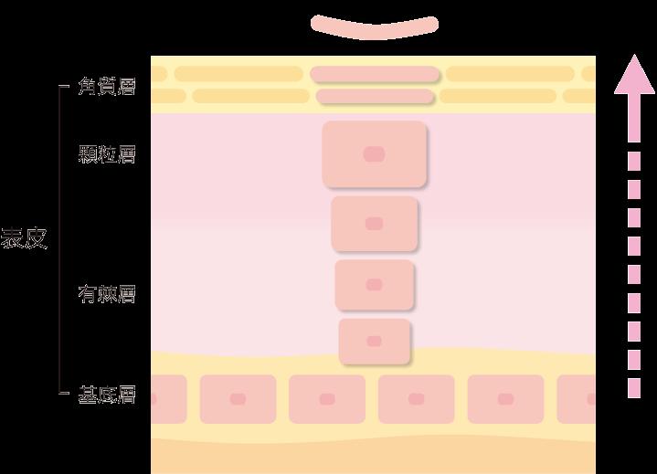 ターンオーバーとは、肌をつくる細胞が生まれてから、はがれ落ちるまでのサイクルのこと